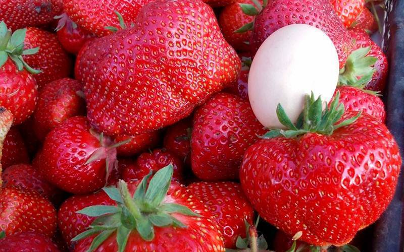 Как выращивать клубнику в открытом грунте в сибири?