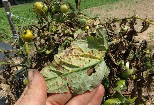 Лечение септориоза у томатов