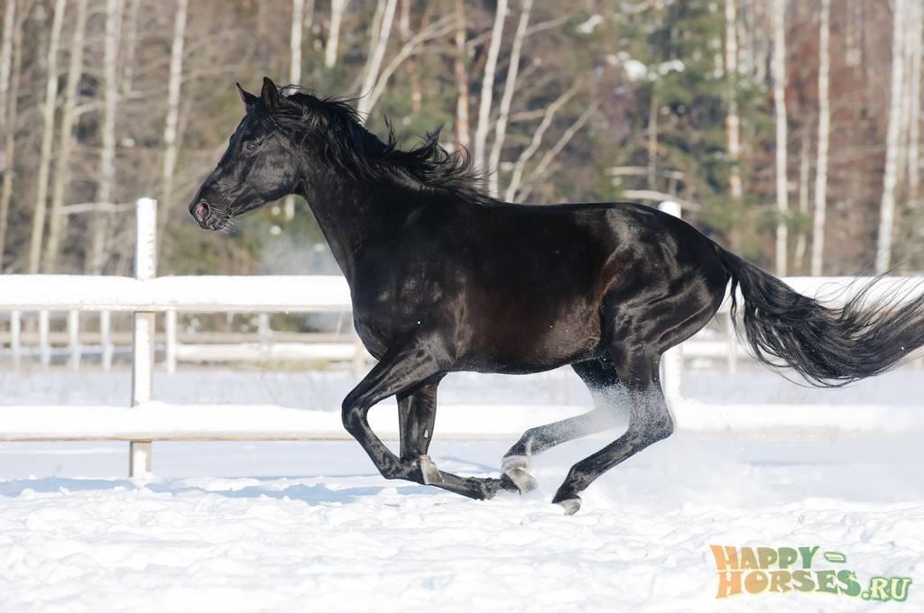 Русская верховая порода лошадей: описание и характеристика