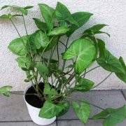 Комнатная солейролия (гелксина): уход и другие нюансы выращивания