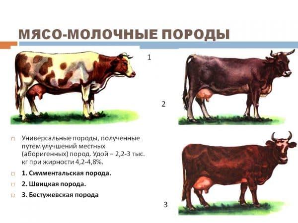 Симментальская порода коров: как ухаживать, и чем кормить в домашних условиях