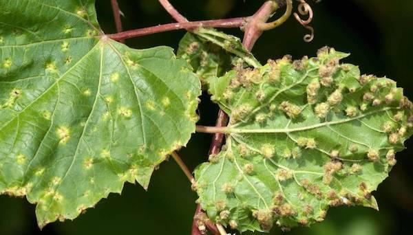 Филлоксера виноградная -  корневая тля, вредители винограда
