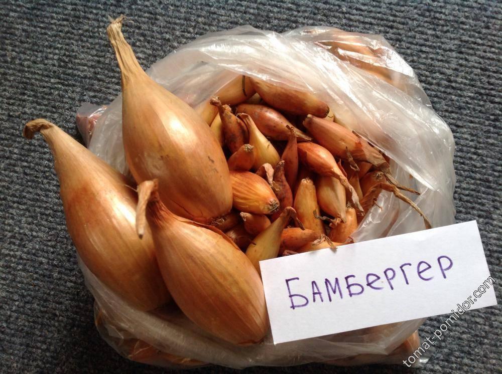 Лук бамбергер: описание и характеристики сорта, выращивание севка