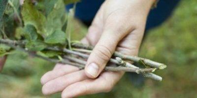 Как вырастить саженец яблони из черенка: пошаговая инструкция по размножению черенкованием