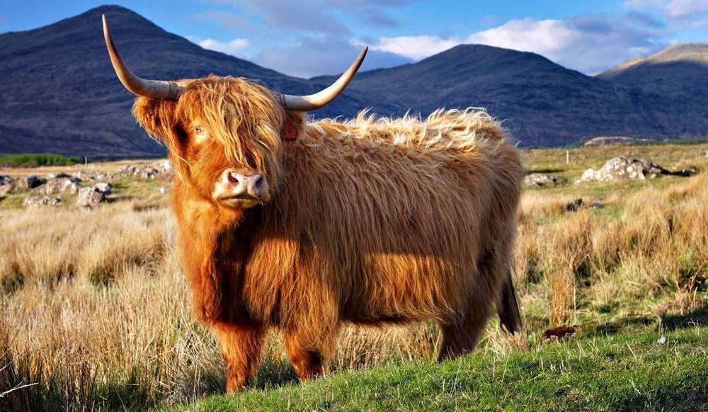 Коровы породы хайленд, или шотландская высокогорная