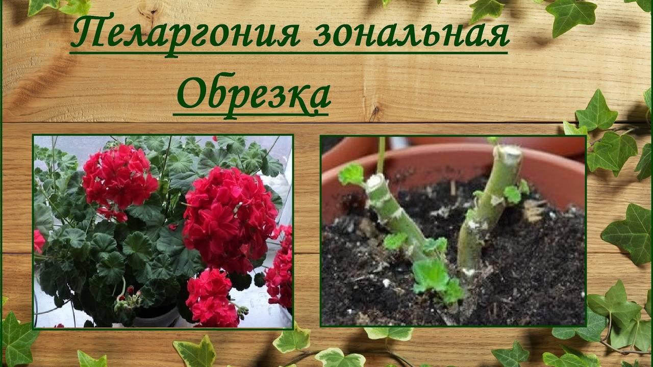 Виды пеларгонии: фото цветов, название и описание