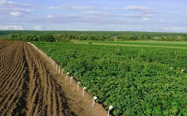 Посадка картофеля в гребни вручную видео