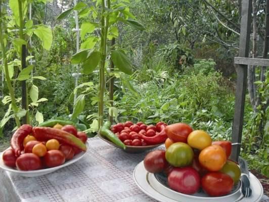 Фитоспорин от фитофторы помидоров: помогает ли, как развести, как обработать, как применять