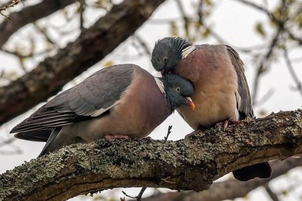 Дикий голубь: вяхирь, горлица и другие виды