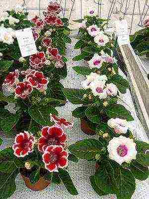 Как размножается глоксиния в домашних условиях: выращивание из листочка, посадка