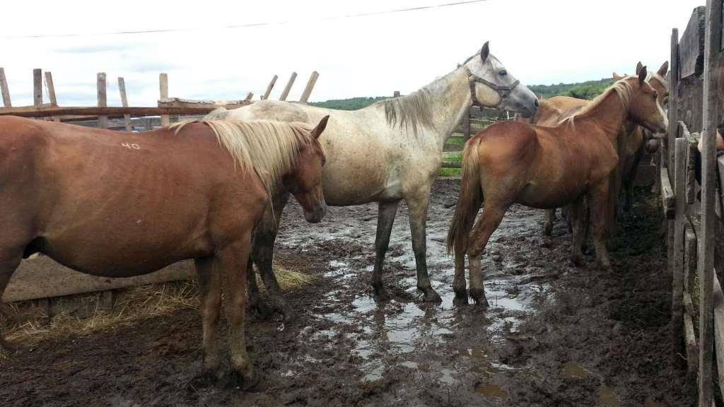Как происходит спаривание лошадей?