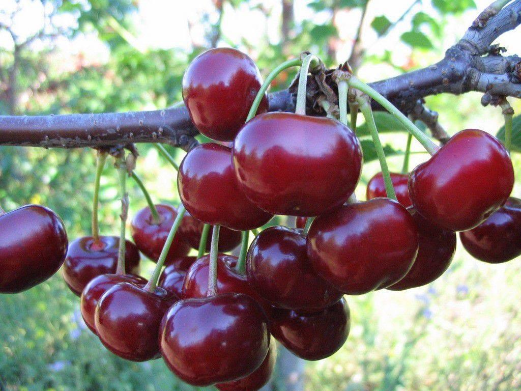 Вишня жуковская: описание сорта, опылители вишня жуковская: описание сорта, опылители