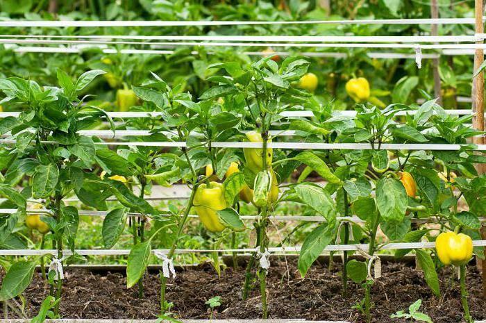 Чем подкормить перцы после высадки в грунт