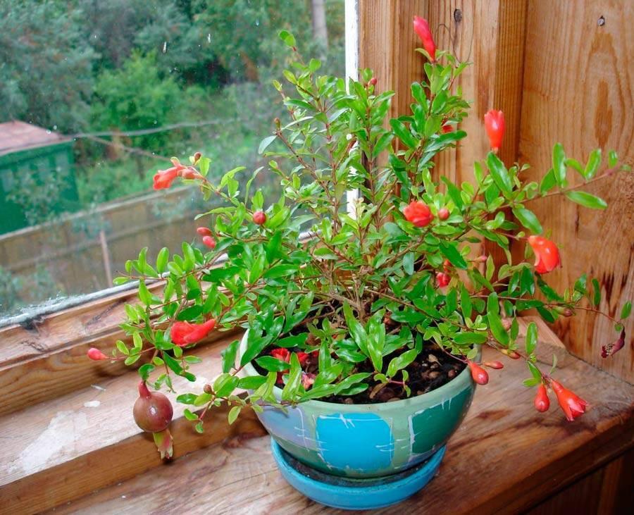 Гранат: уход в домашних условиях, как вырастить из косточки, условия, фото