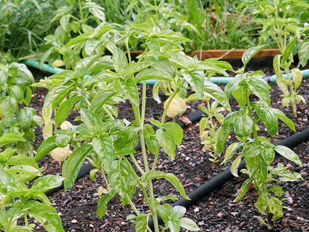 Посадка семян базилика на рассаду: когда и как сажать, выращивание и уход в открытом грунте
