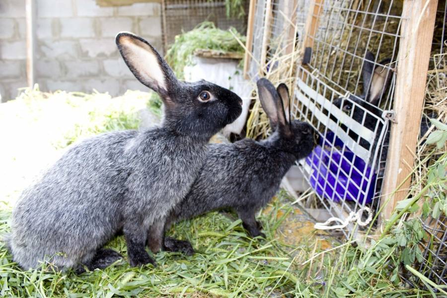 Кролики полтавское серебро: описание, характеристики, отзывы