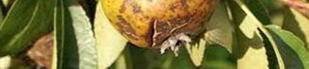 Болезни груши и борьба с ними фото и описание