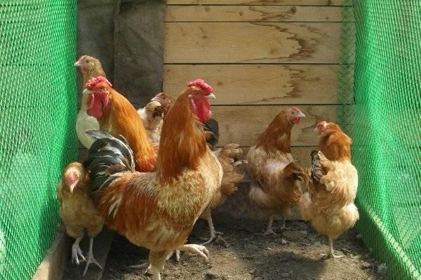 Полтавская глинистая порода кур подробное описание, фото и отзывы фермеров