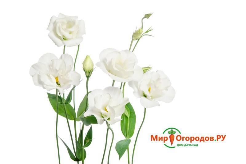 Эустома многолетняя - 69 фото очень капризного но красивого цветка