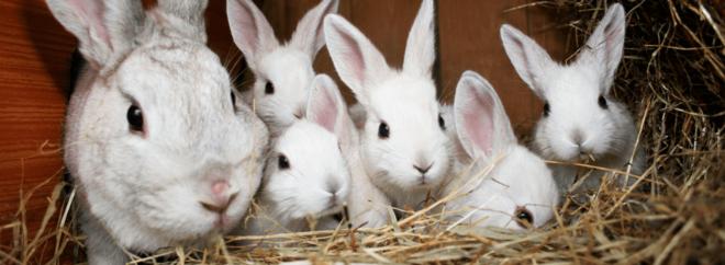 Когда отсаживать крольчат от крольчихи: возраст, правила отсадки
