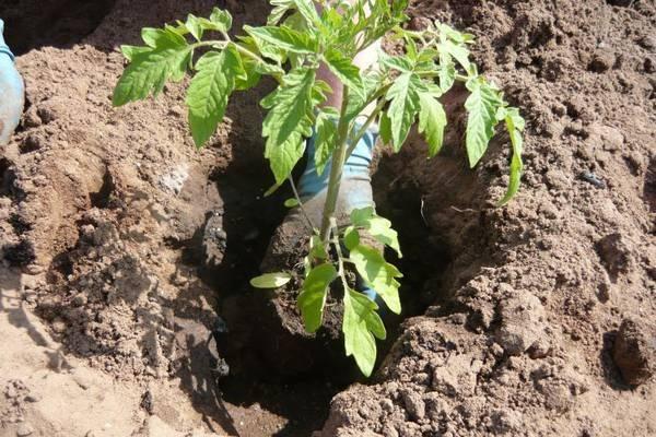 Рассада помидор в домашних условиях выращивание уход когда сажать фото видео
