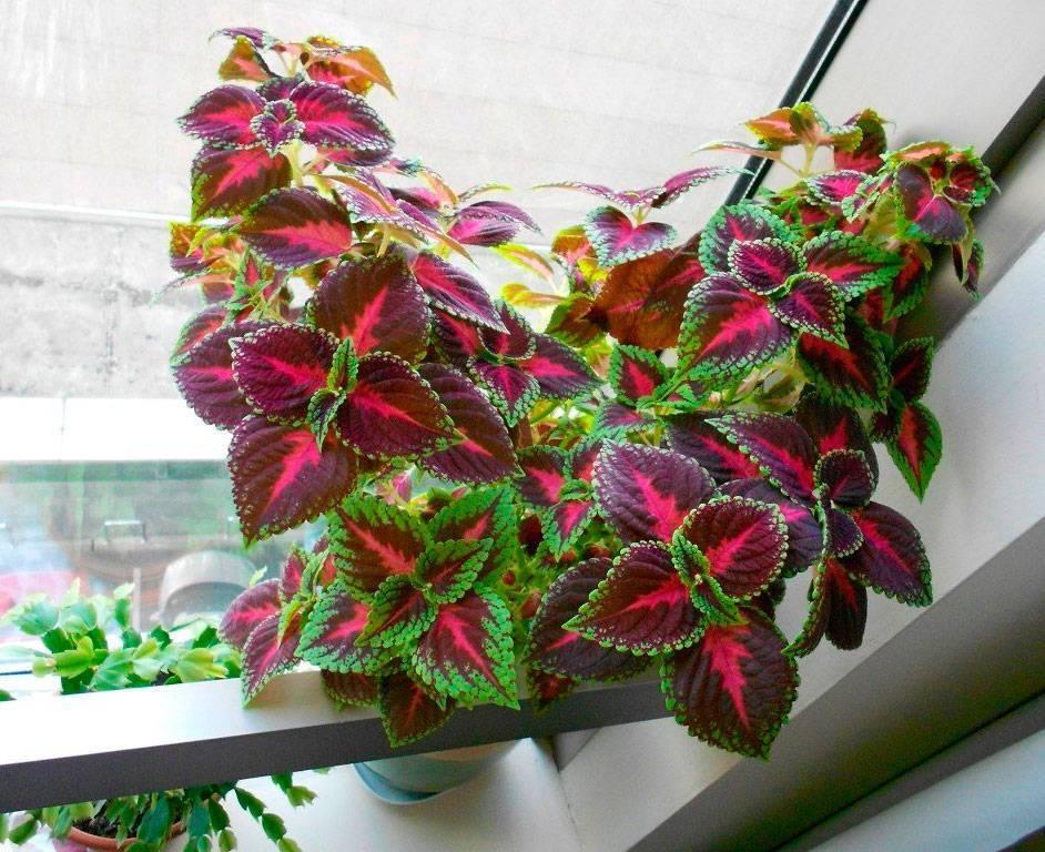 Колеус: фото, виды, особенности выращивания. колеусы в ландшафтном дизайне