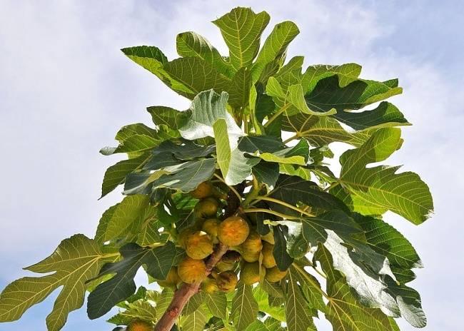 Дерево инжир: условия для роста и полезные свойства фрукта. 130 фото и видео выращивания