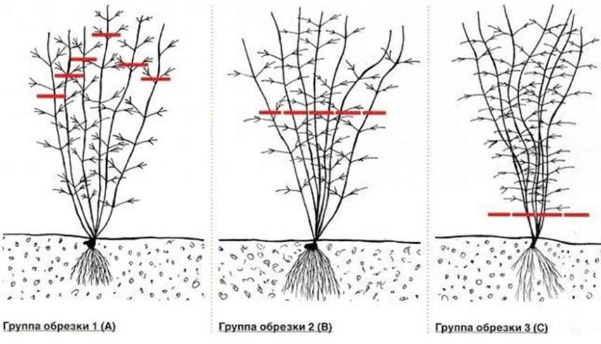 Укрытие клематисов на зиму в подмосковье, ленинградской области, сибири и средней полосе