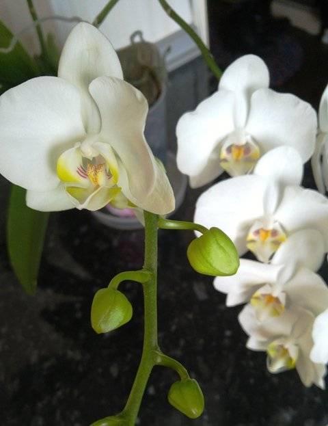 Почему не цветет любимая орхидея