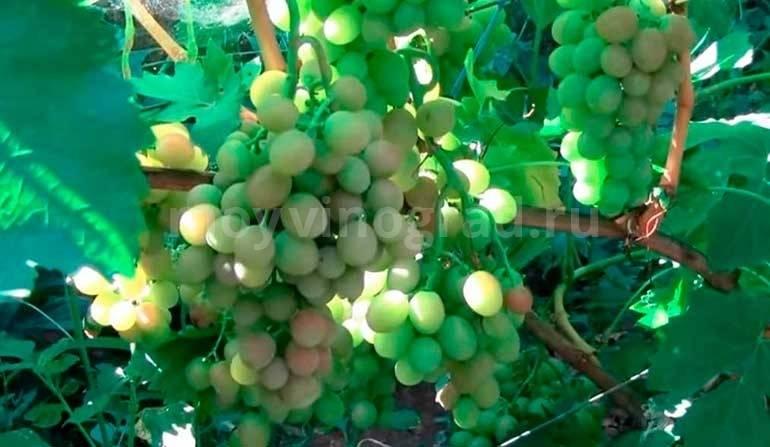 Оригинальный сорт винограда – гибрид блестящий