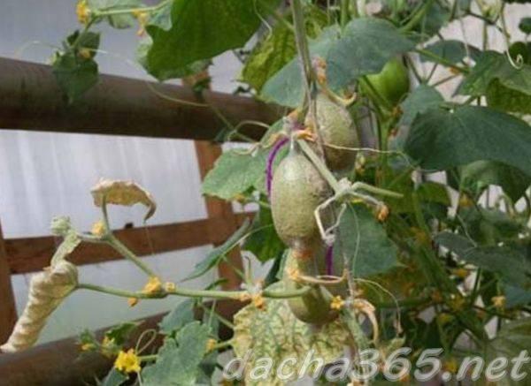 Паутинный клещ на огурцах - как бороться в открытом грунте и теплице
