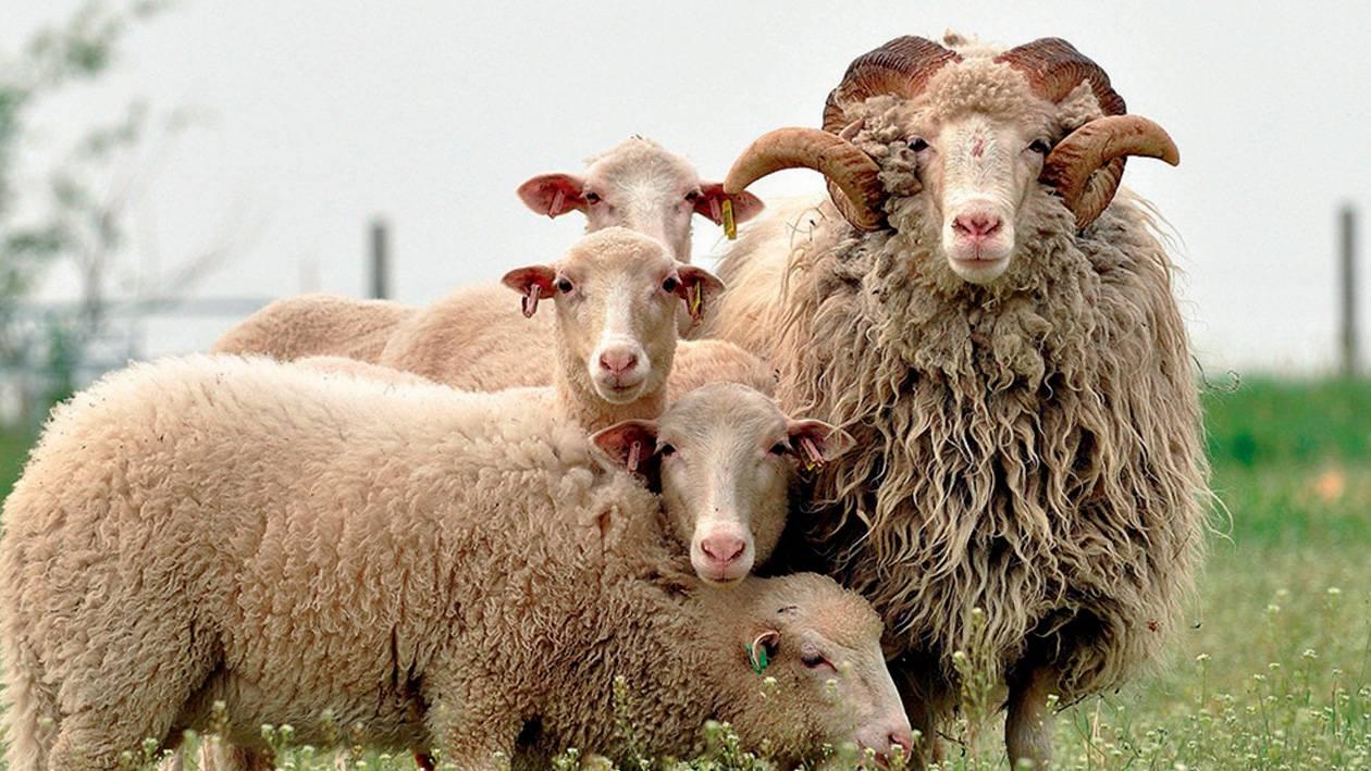 Цигайская порода овец: описание, характеристика