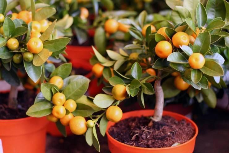 Уход за цитрусовыми в домашних условиях: секреты выращивания
