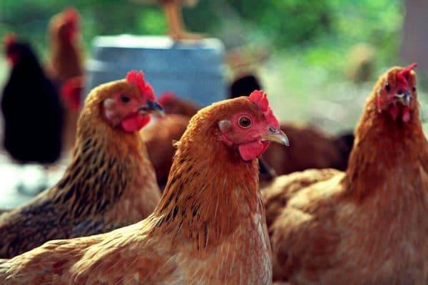 Мини мясные палевые куры описание. плюсы и минусы мини-мясной породы кур
