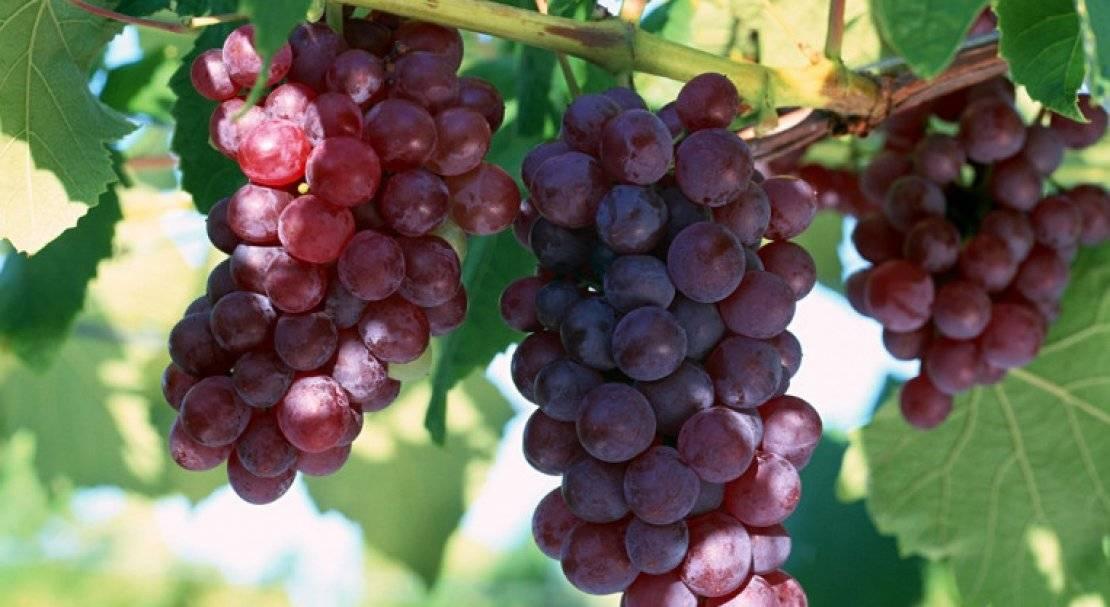 Сорт винограда алвика: фото, отзывы, описание, характеристики.