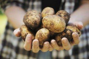 Картофель лидер: описание сорта, фото, отзывы