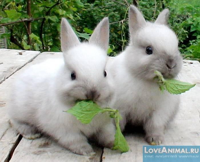 Крапива в рационе кроликов. правила кормления