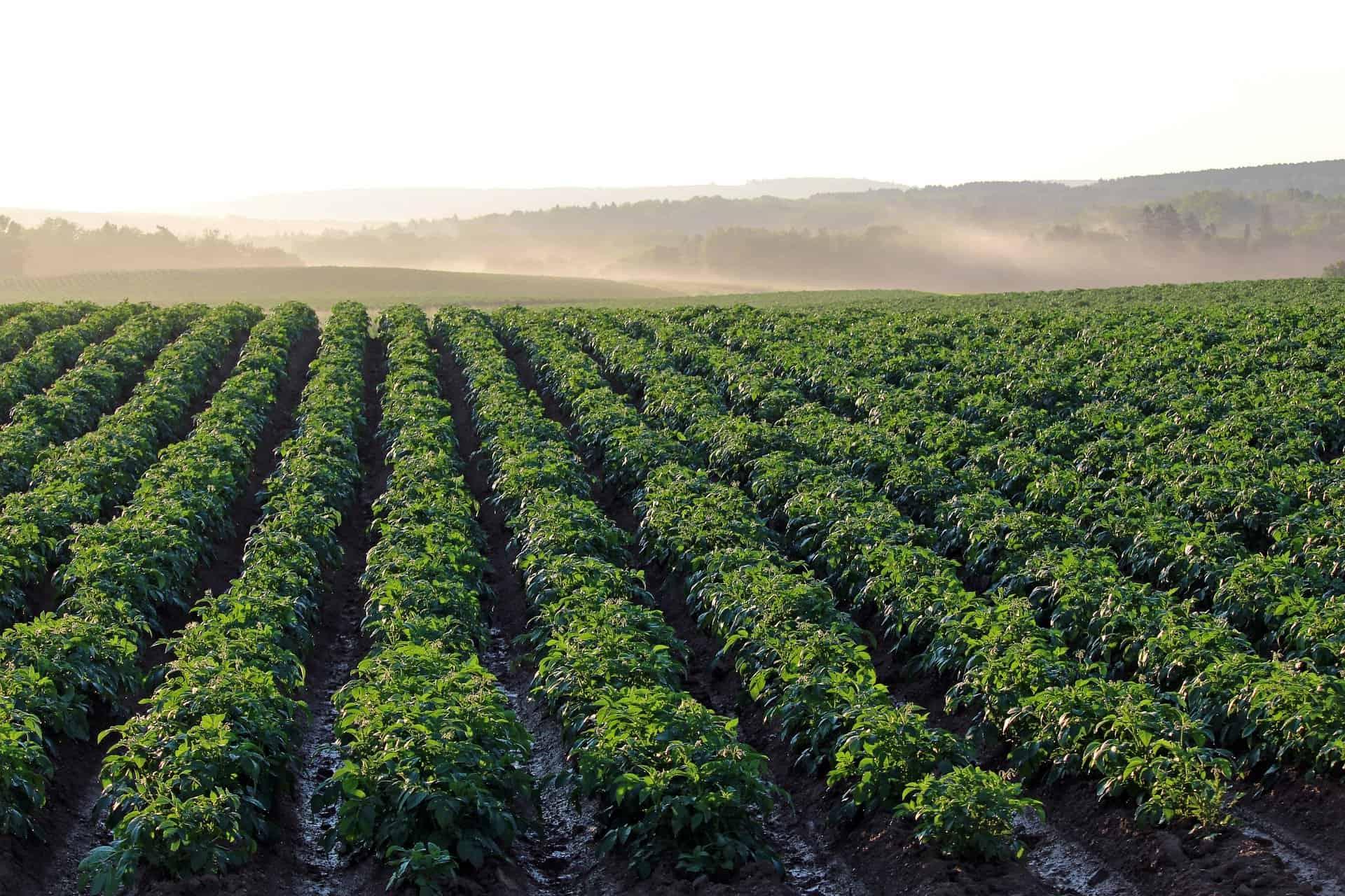 Китайский метод выращивания картофеля