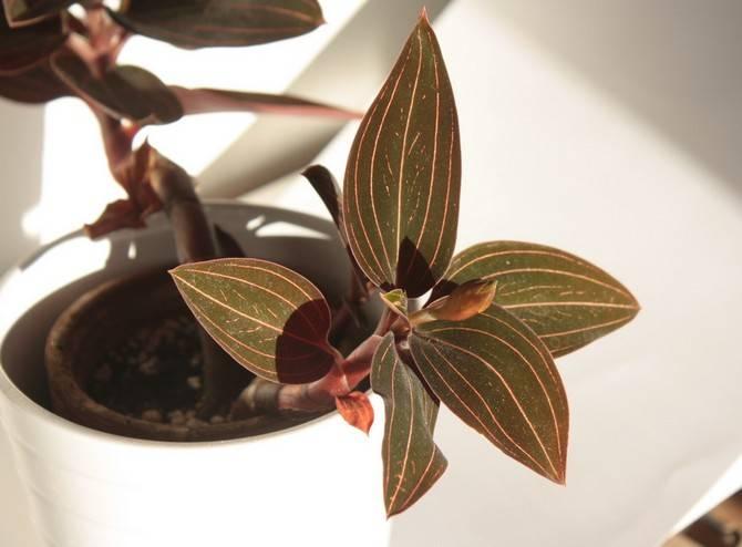 Орхидея драгоценная лудизия: описание сорта и уход в домашних условиях, фото видов и способы размножения