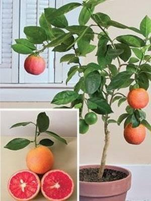 Как правильно выбрать грейпфрут?