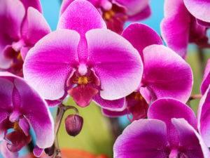 Что такое сиреневая орхидея? сорта, выращивание, уход, болезни и вредители