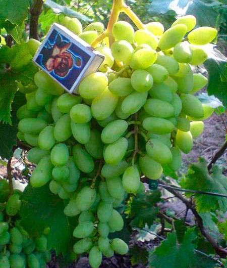 """Виноград """"виктор"""": описание сорта, фото, отзывы"""