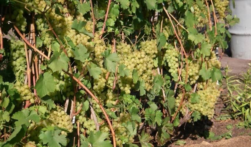 Виноград: посадка и уход в Подмосковье, выбор сорта