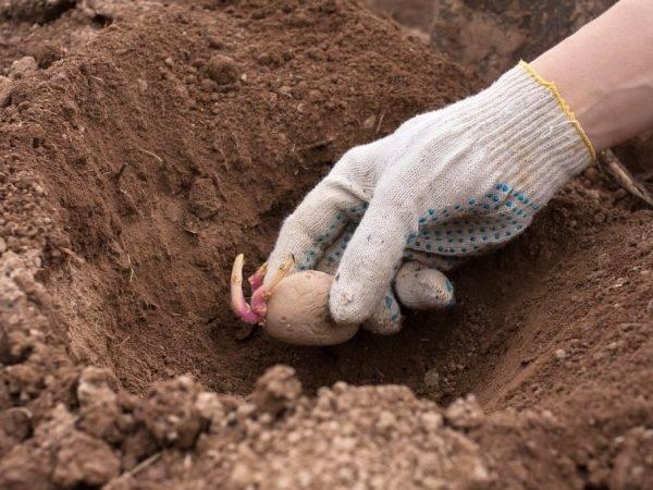 Подкормка картофеля при посадке: какие удобрения можно положить в лунки