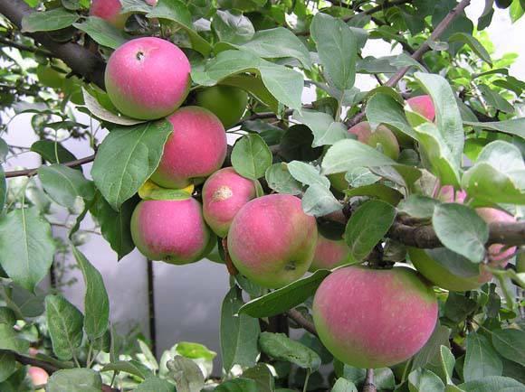 Яблони сорт аркадик