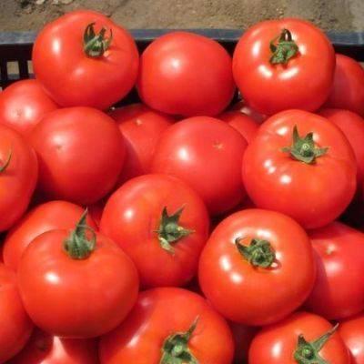 Описание сорта томата лоджейн и его характеристика