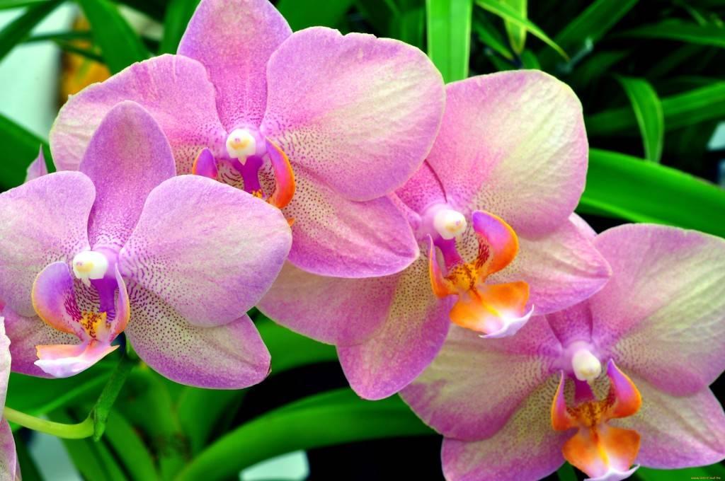 Почему у орхидей опадают бутоны?