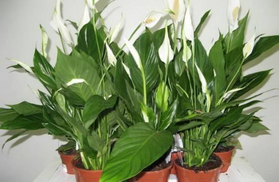 Самые неприхотливые и полезные растения для офиса - flosium.ru