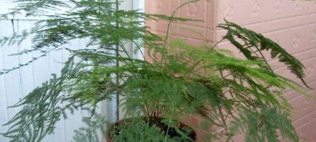 Аспарагус серповидный: описание, уход в домашних условиях, фото selo.guru — интернет портал о сельском хозяйстве
