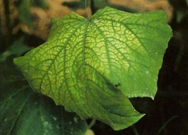 Почему у огурцов листья как мраморные